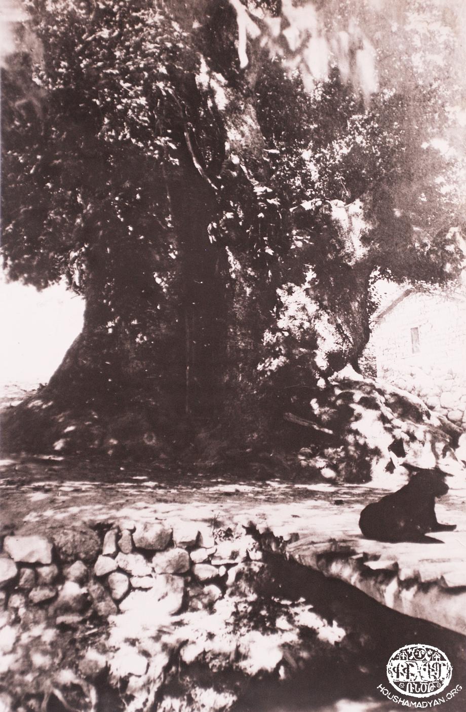 Խտրպէկ գիւղին մէջ Սօսիի ծառը