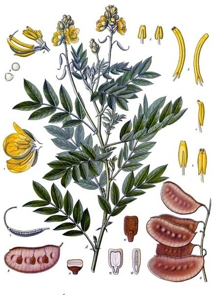 Illustration from Köhler's Medicinal Plants by Franz Eugen Köhler