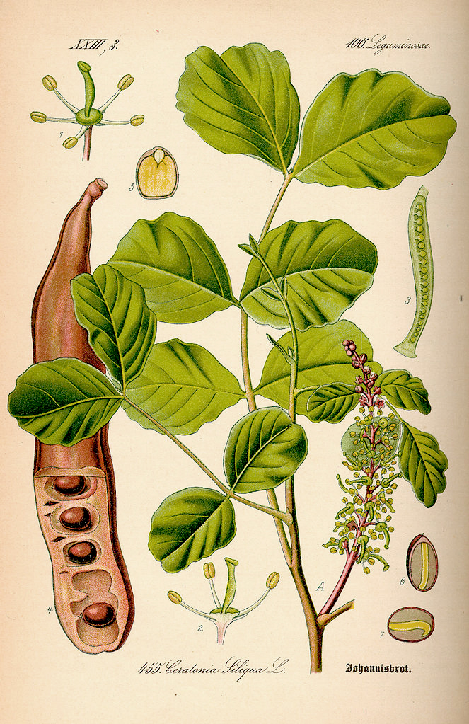 The components of the carob tree