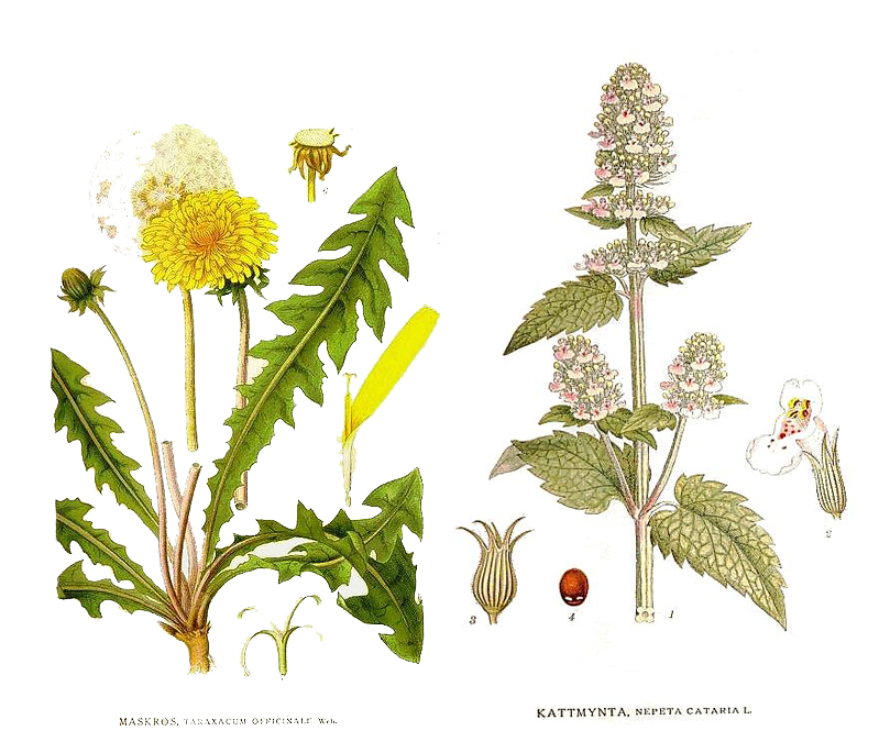 Left: taraxacum officinale (dandelion). Right: Nepeta cataria (catnip) (Source: Carl Axel Magnus Lindman books)