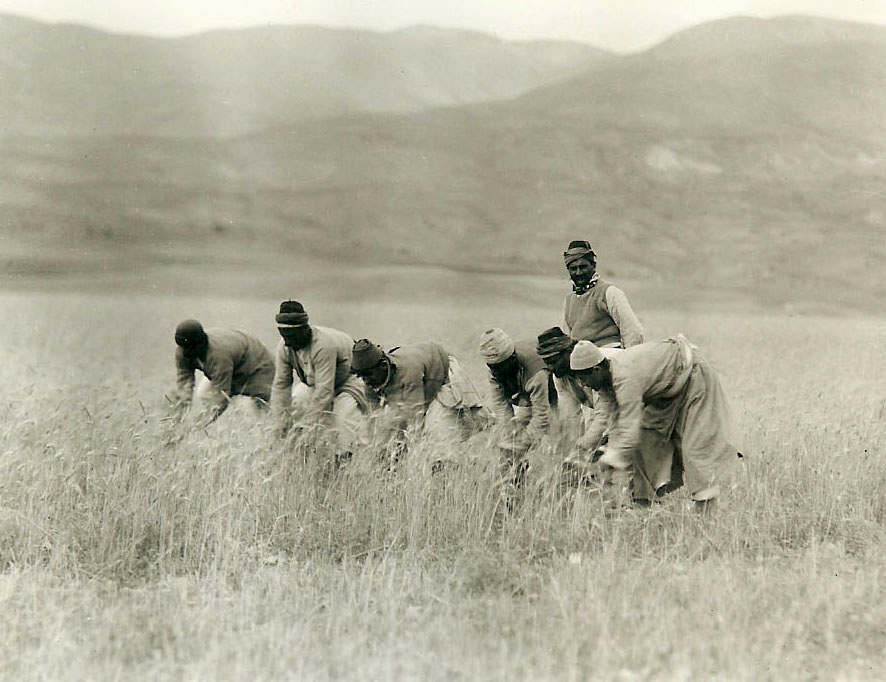 Kishifli village near Marash, summer 1919. Armenian villagers reaping wheat (Photo: Stanley E. Kerr, Joyce Chorbajian collection)
