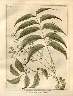 Azadrachta indica (Kaynak: Burman J., Thesaurus Zeylanicus)